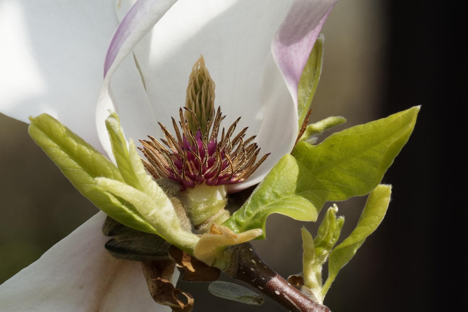 Magnolia und das Insekt