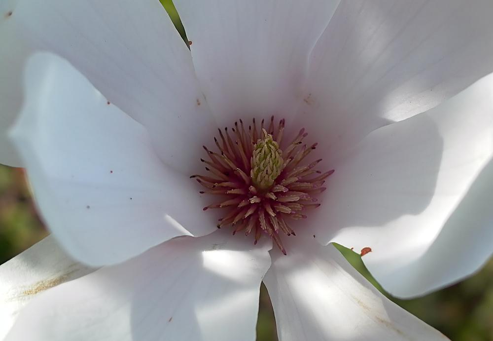 Magnolias Innenleben