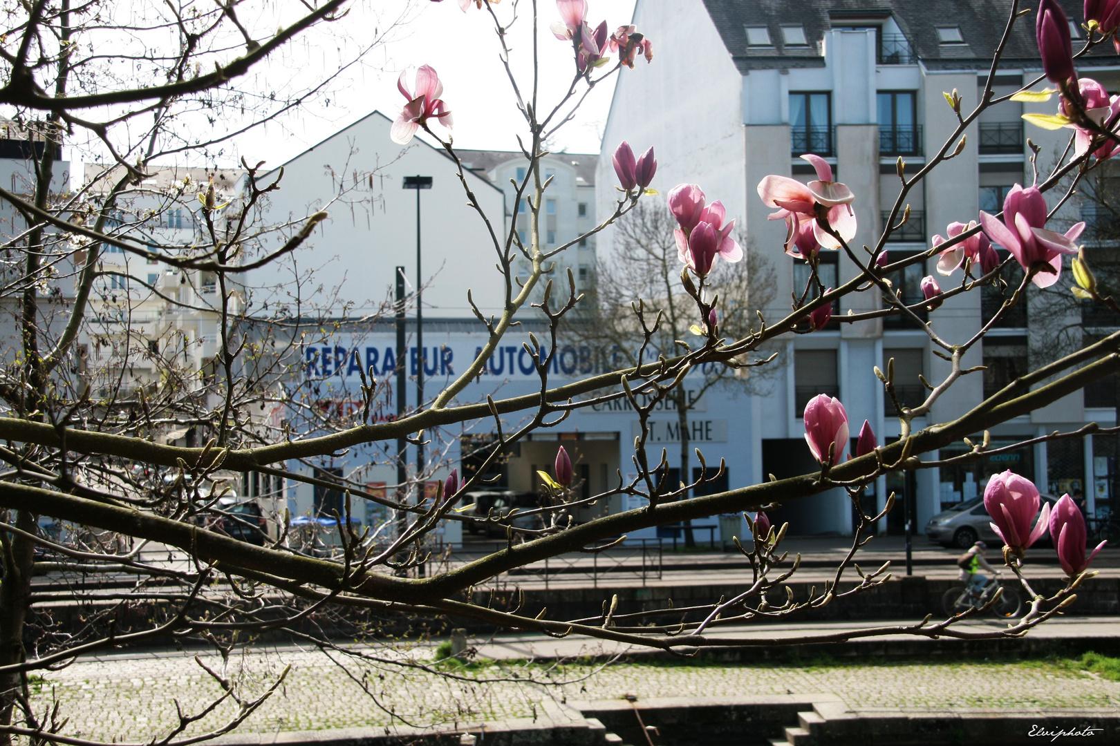 Magnolias nantais