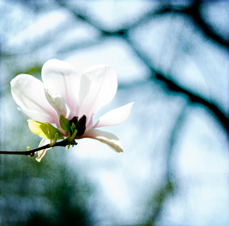 magnolie 2