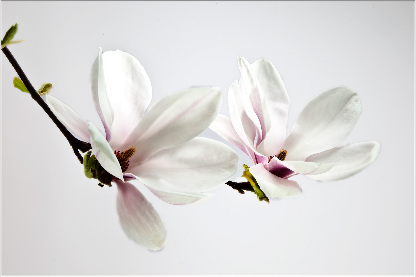 magnolie foto bild pflanzen pilze flechten b ume. Black Bedroom Furniture Sets. Home Design Ideas