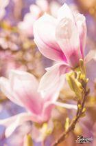 Magnolie <3