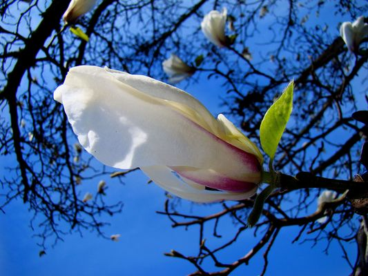 magnolie ....