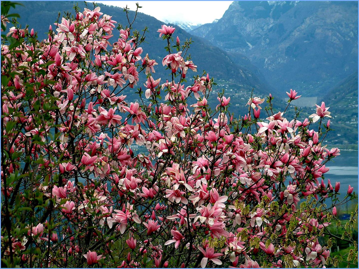 Magnolie am Lago Maggiore
