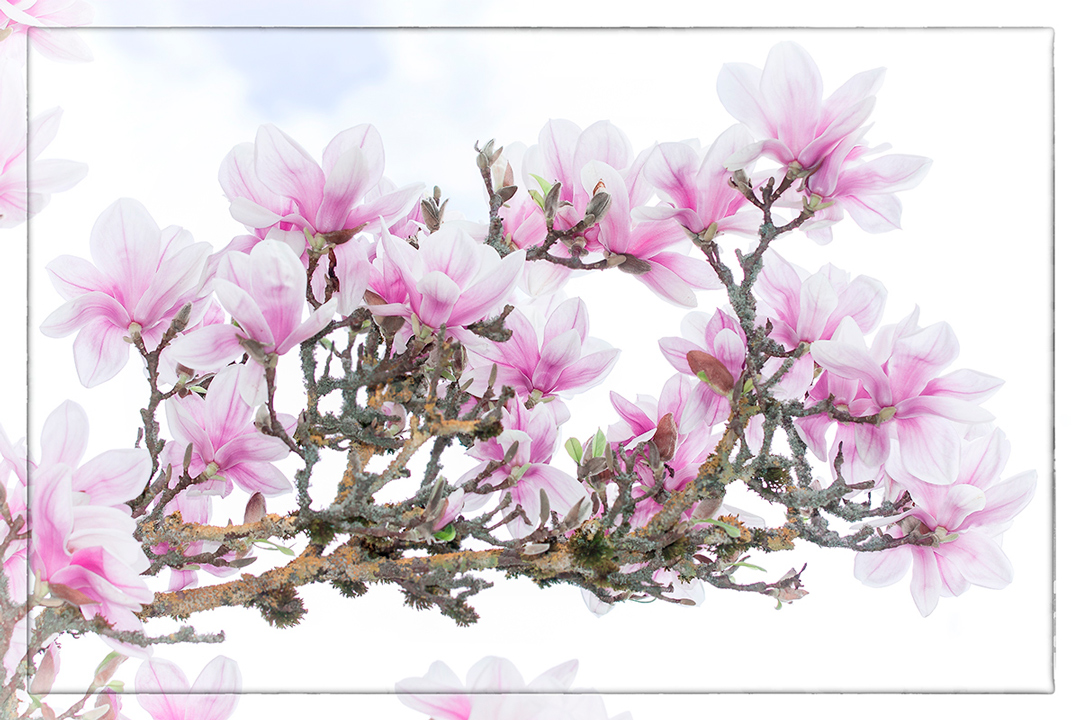 magnolie bl te foto bild pflanzen pilze flechten. Black Bedroom Furniture Sets. Home Design Ideas