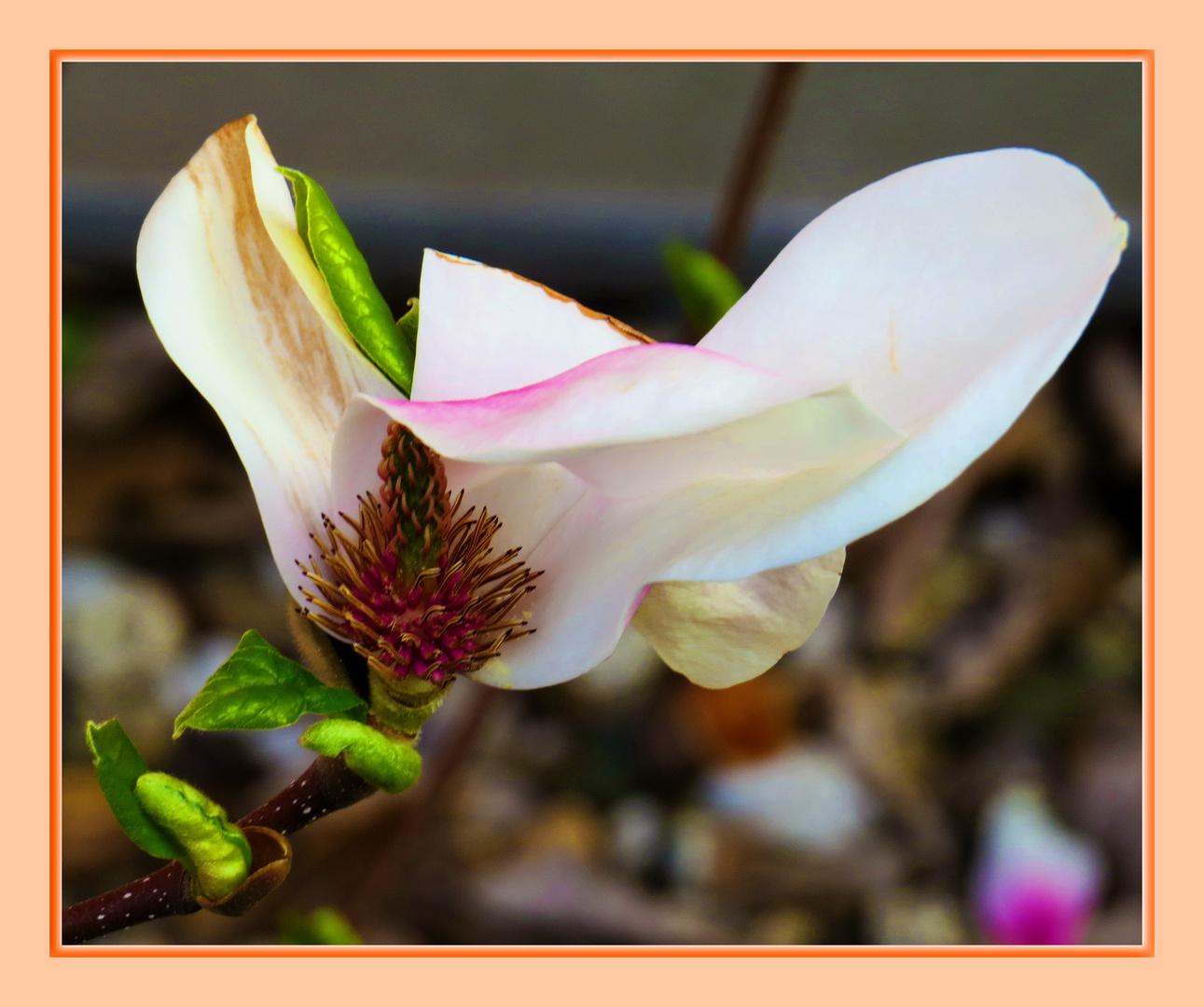 Magnolie - etwas entblättert