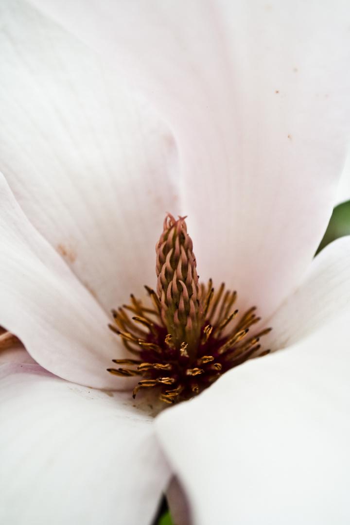 Magnolie ganz nah
