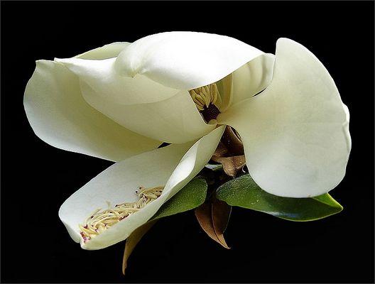Magnolie Grandi Flora
