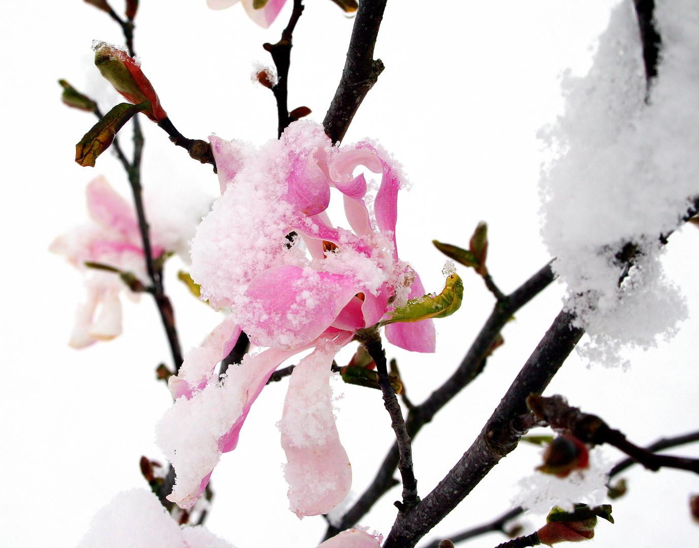 magnolie im schnee foto bild pflanzen pilze flechten bl ten kleinpflanzen. Black Bedroom Furniture Sets. Home Design Ideas