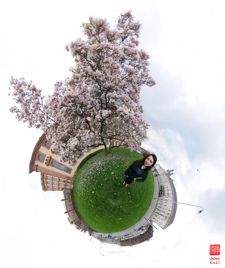 Magnolie in Mannheim