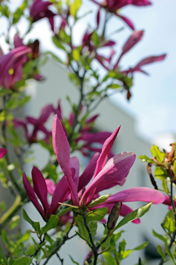 Magnolie ist erblüht