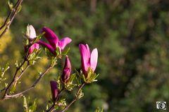 Magnolie pink
