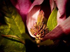 Magnolie (Sinnliche Blüten 2010)
