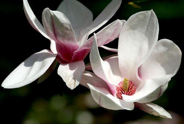 Magnolie sp.