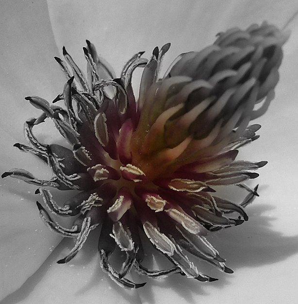 Magnolie von Innen (Experiment)