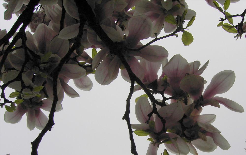 Magnolie von unten