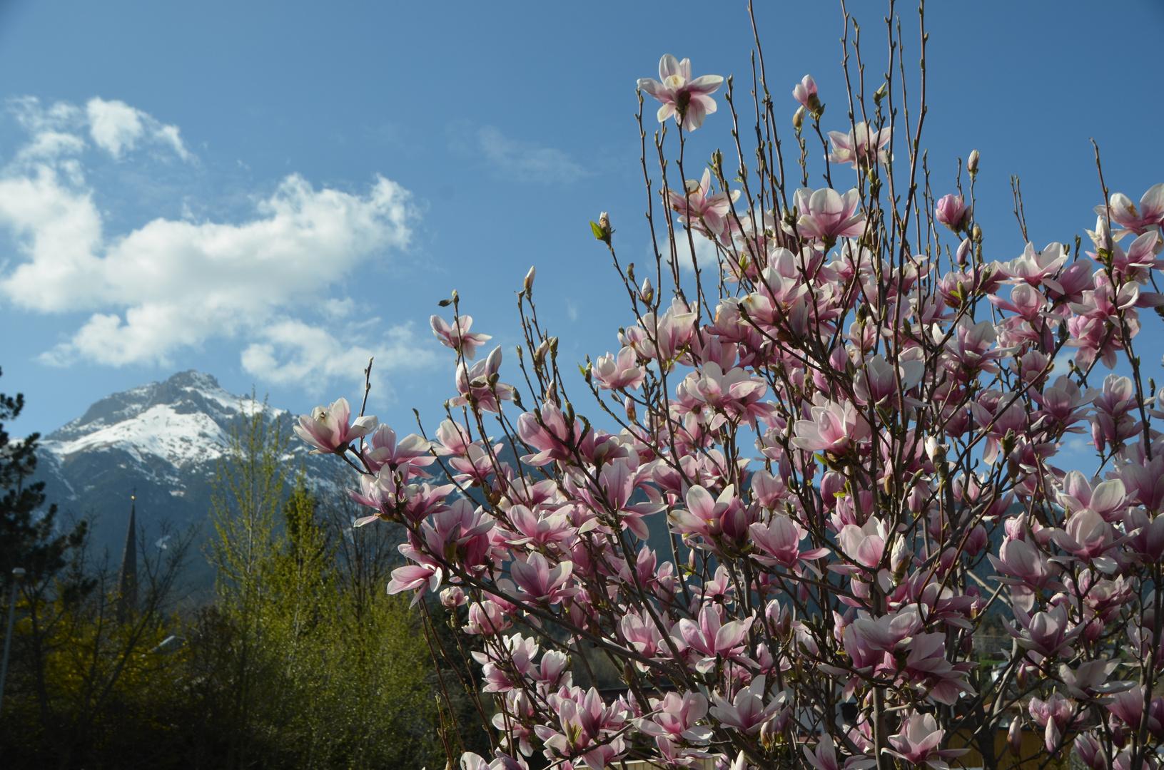 Magnolie vor Imster Bergen
