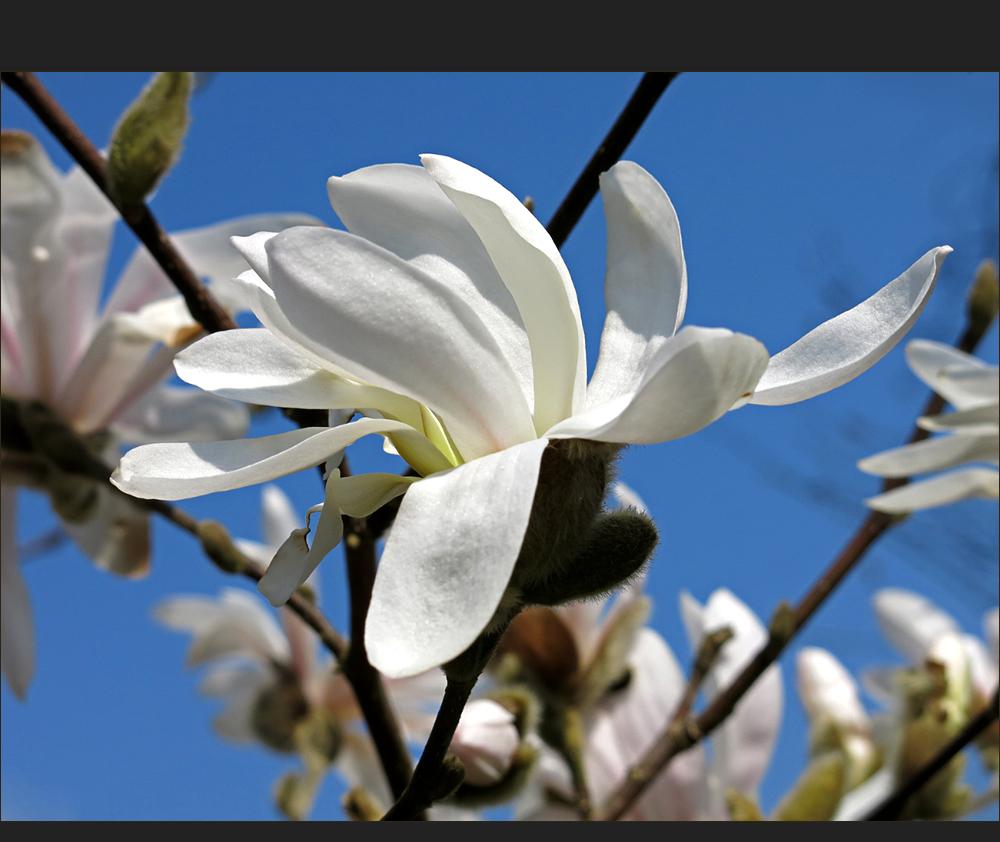 Magnolie zum Mittwoch