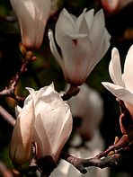 Magnolieblüte im Sonnenlicht.