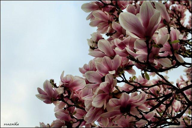 Magnolien...