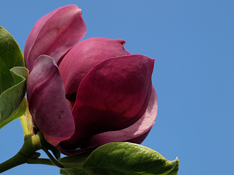 Magnolien blühen im Frühjahr ...