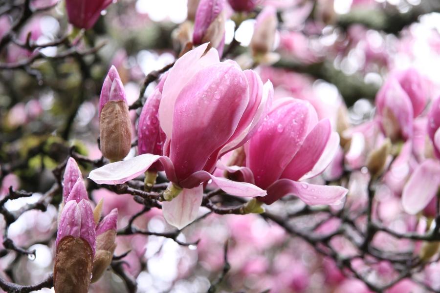 magnolien foto bild pflanzen pilze flechten bl ten. Black Bedroom Furniture Sets. Home Design Ideas