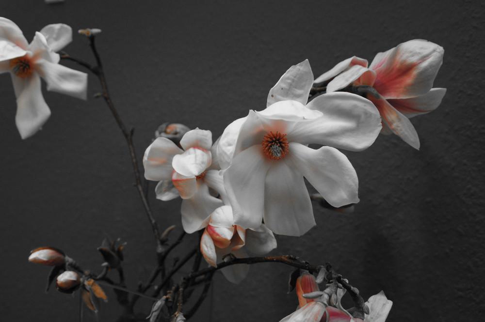 Magnolien (Colorkey)