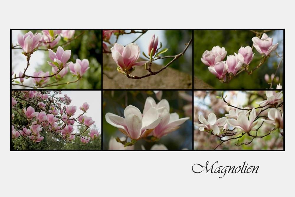 - Magnolien, die Blütenkelche des Frühlings -