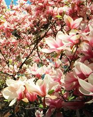 Magnolien – ein Blütentraum