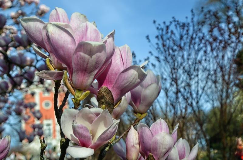 Magnolien Frühlingsboten