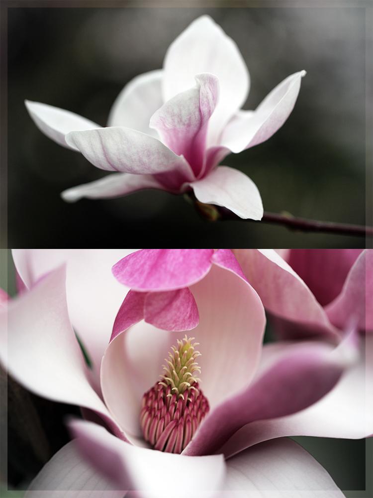 Magnolien I
