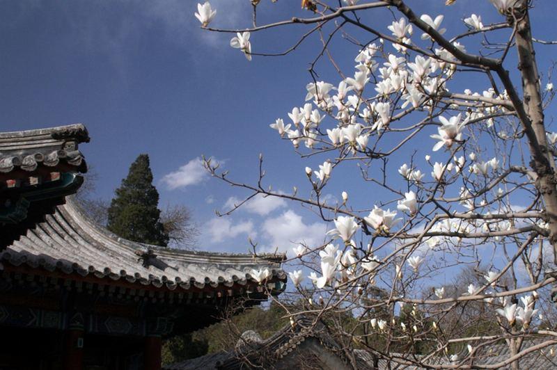 Magnolien im Sommerpalace Peking