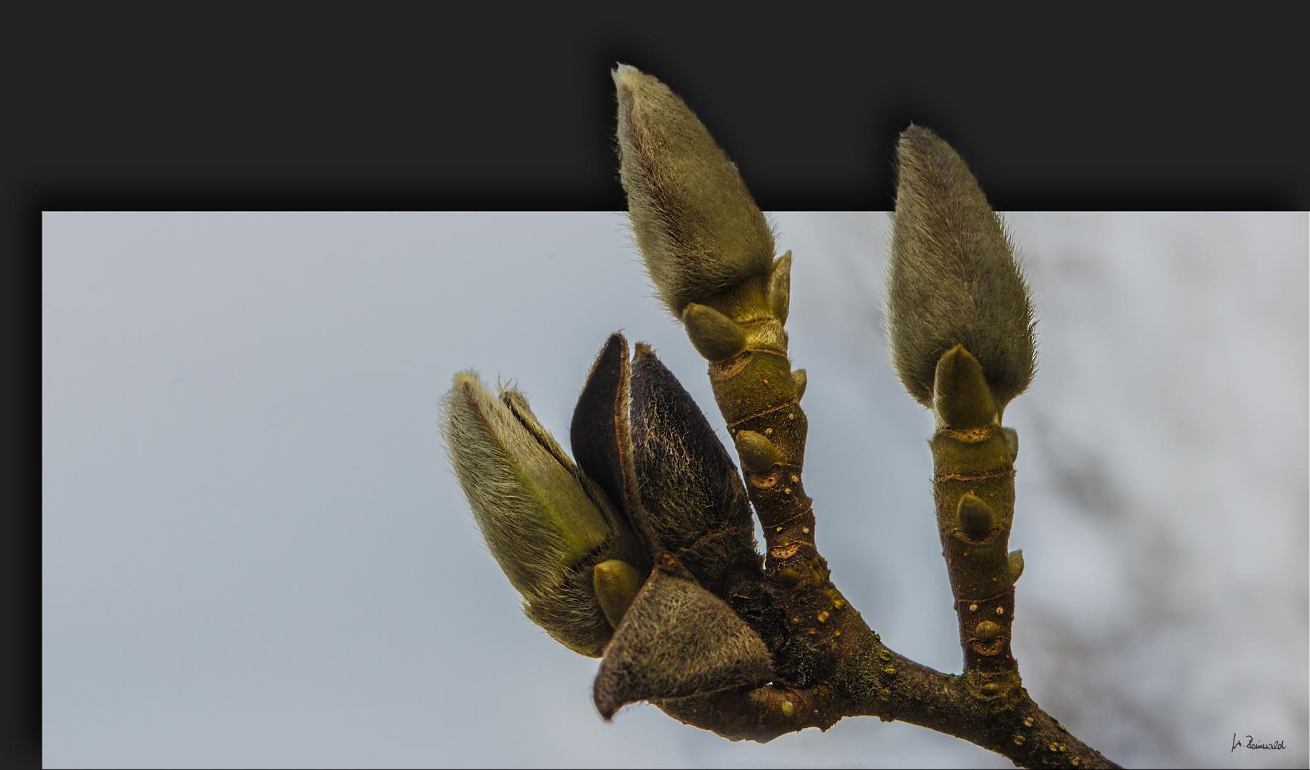 Magnolien-Knospen