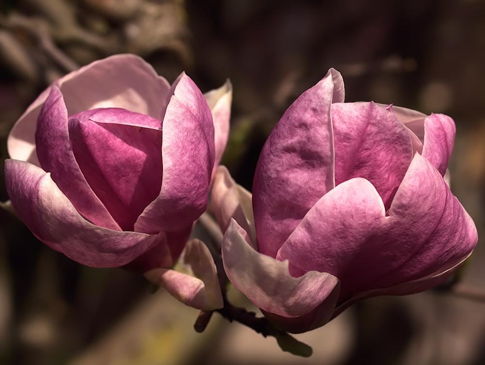 Magnolien Makro
