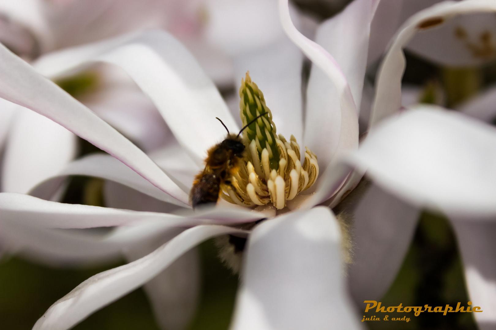Magnolien Makro mit kleinem Besucher