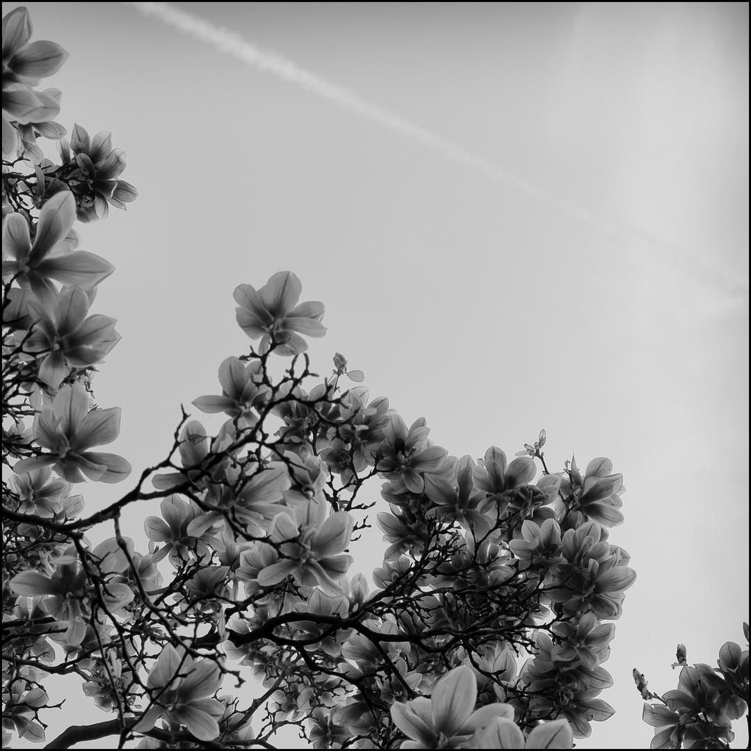 Magnolien N°1