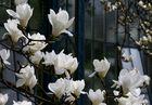 Magnolien-Rausch (4)