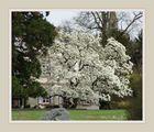 Magnolien - Traum - Baum