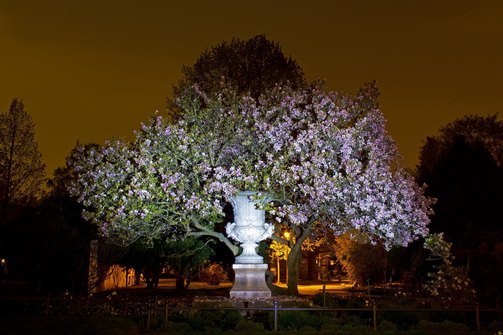 """Magnolienbaum beim """"nachtgiechern"""" fotografiert"""