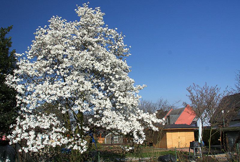 magnolienbaum in volller bl te foto bild pflanzen. Black Bedroom Furniture Sets. Home Design Ideas