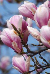 Magnolienblühen der Frühling ist da