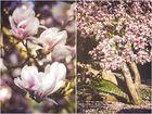~ magnolienblüte ~