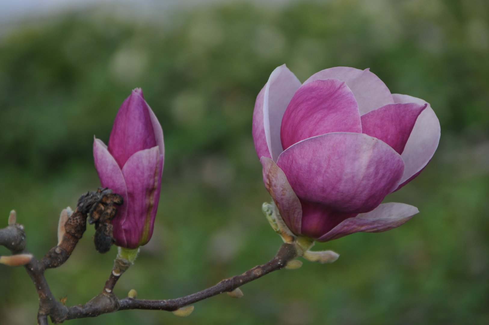 Magnolienblüte 2014-1