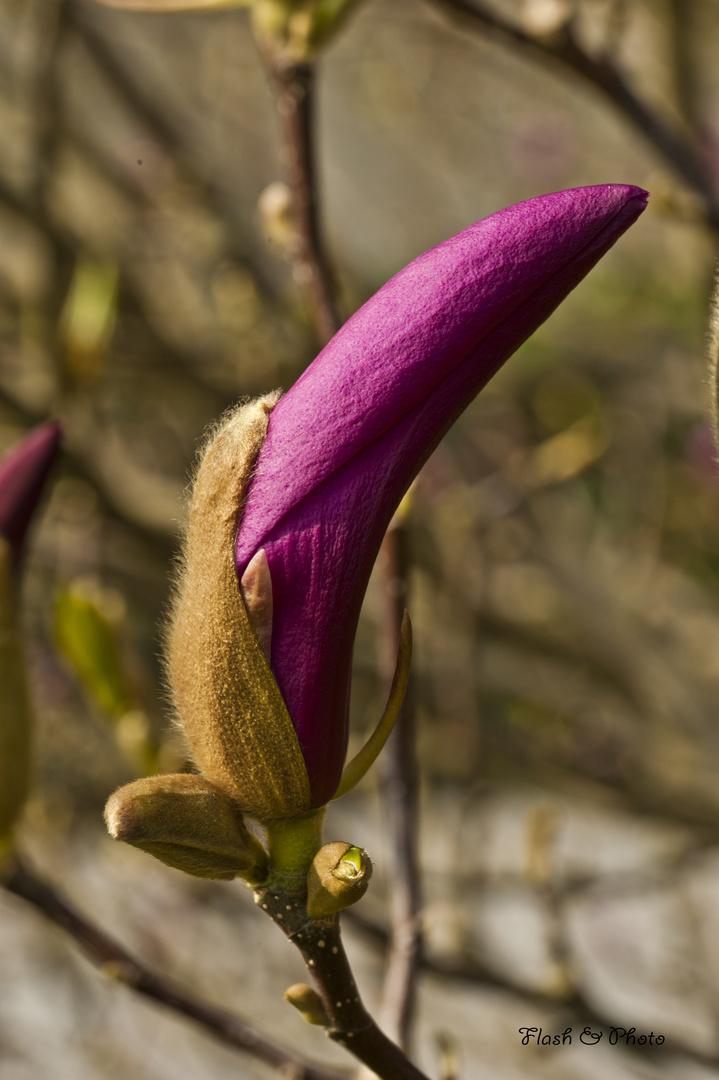 Magnolienblüte 3.
