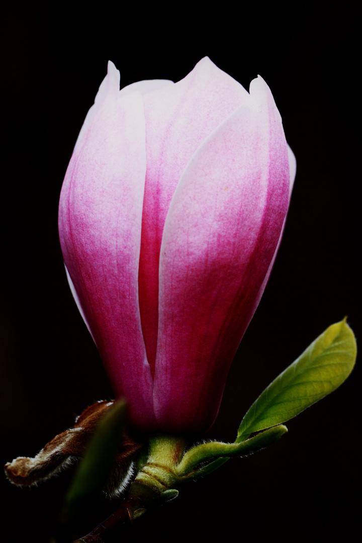 Magnolienblüte..