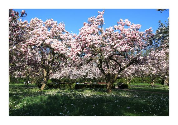Magnolienblüte Aschaffenburg