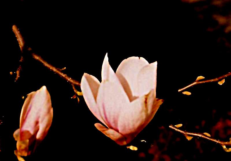 Magnolienblüte im Gegenlicht 1990