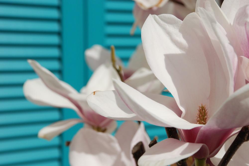 Magnolienblüte vor türkisem Fensterladen