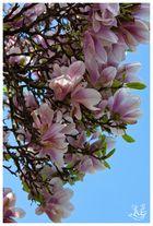 Magnolienblüte zum Geburtstag