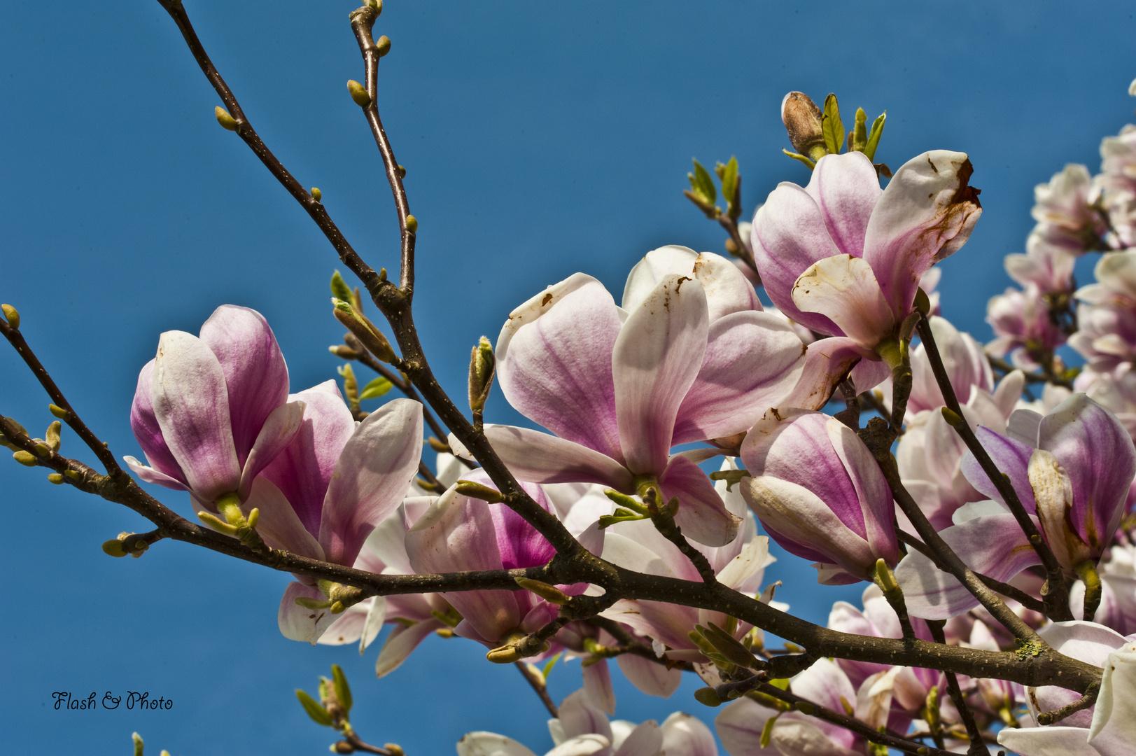 Magnolienblüte2